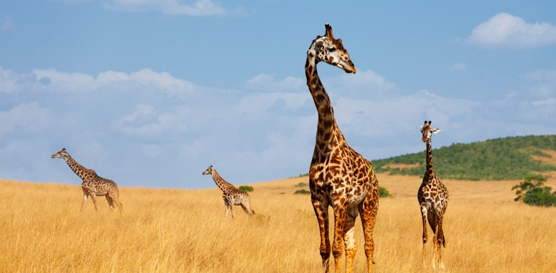 Honeymoon Tour of Kenya, Giraffes