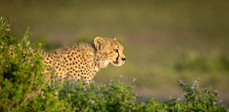 Family Tour of Tanzania, Cheetah